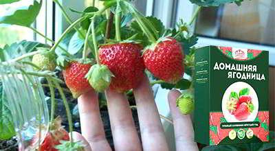 Кладовая природы домашняя ягодница
